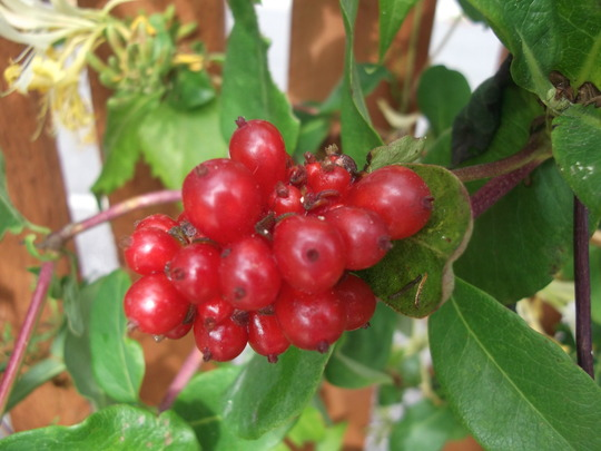 Garden Aug 11 026 (Lonicera)