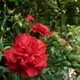 Dianthus 'Rebekah'
