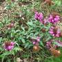 Prunella vulgaris 'Rose pearl' (Prunella vulgaris (Brunelle))