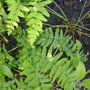 Osmunda regalis (Flowering fern)