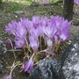 Colchicums (Autumn Crocus/Naked Ladies)