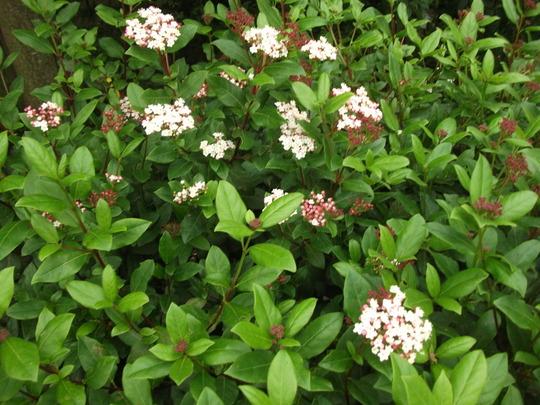 Viburnum Tinus flowering  (Viburnum tinus (Laurustinus))