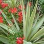 Geraniums trailing through Yuccas
