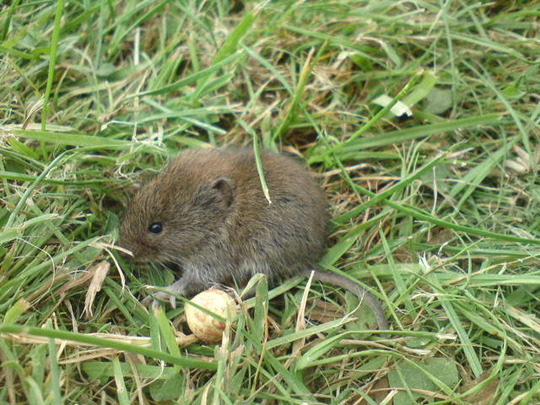 Shrew that's really a Vole!