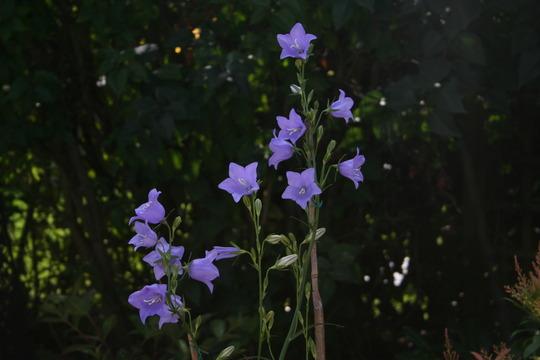 campanula (Campanula Persicifolia)