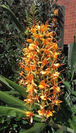 Hedychium 'Tara' - 2011 (Hedychium 'Tara')