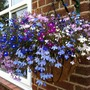 lobelia1