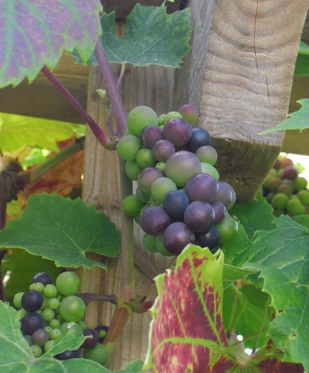 Grapes ripening  ...