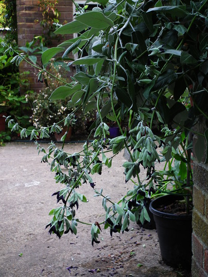 Salvia discolor (Blackcurrant sage) (Salvia discolor)