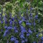 Blue Lobelia, Lobelia syphilitica