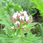 Looks like Cleome...but it's very small...