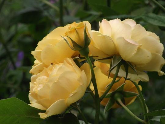Rose Absolutely Fabulous (Floribunda rose)