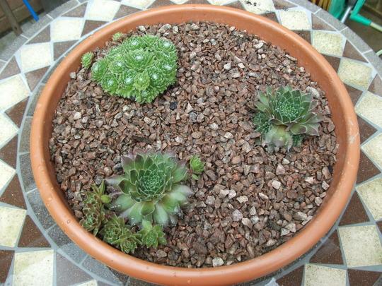 Sempervivum, House leeks new today (Sempervivum  Bronco)