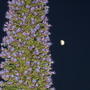 echium by moon night!! (Echium pininana (Tree echium))