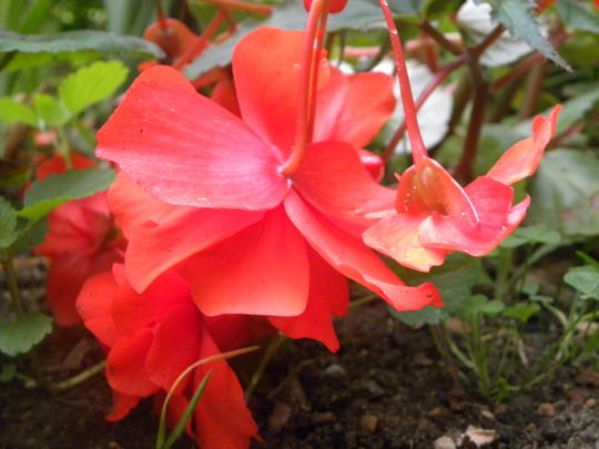 """Begonia   """"Illumination Red"""" (Begonia formosana (Begonia))"""