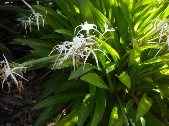 Hymenocallis latifolia - Spider Lilies (Hymenocallis latifolia - Spider Lilies)