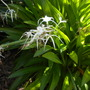 Hymenocallis latifolia - Spider Lilies (Hymenocallis latifolia - Spider Lilies)
