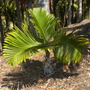 Hyophorbe langencaulis - Bottle Palm (Hyophorbe langencaulis - Bottle Palm)