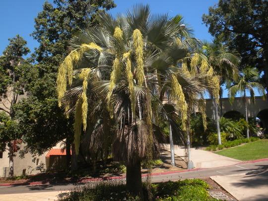 Brahea armata - Mexican Blue Palm Flowering (Brahea armata - Mexican Blue Palm)