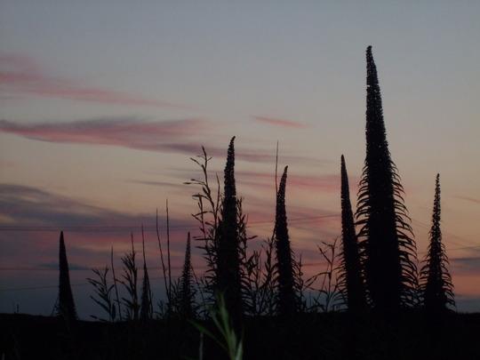 echium by night (Echium pininana (Tree echium))