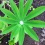 Diamond on Lupin 09-07-11
