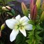 White Lily 08-07-11