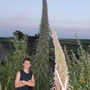 echium by jack(son 5foot 6ish!!) (Echium pininana (Tree echium))