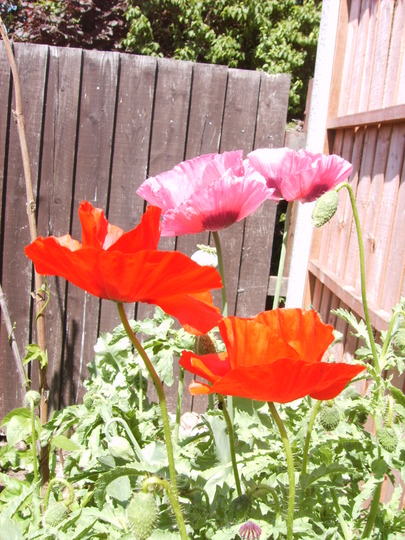 Poppys (Papaver rhoeas (Corn poppy))