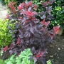 Physocarpus_lady_in_red_