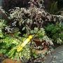 Cornus_alternifolia_argentea_