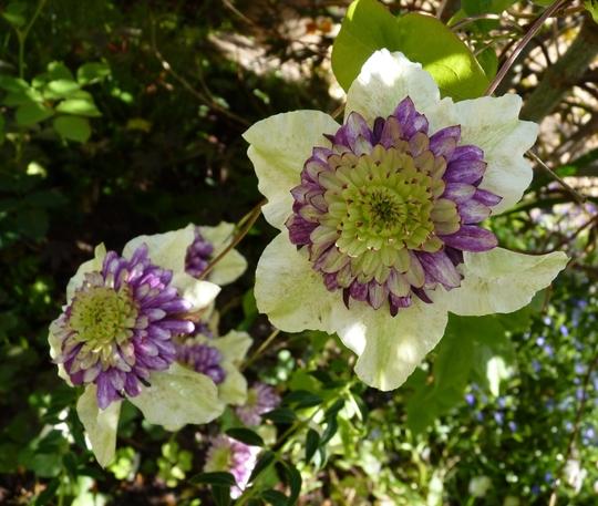 Fully open flower of 'Vienetta'