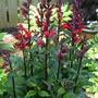 Unknown perennial Lobelia  (Lobelia cardinalis (Cardinal flower))