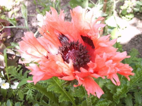 Oriental Poppy 'Pink Ruffles' (Papaver orientale 'Pink Ruffles')