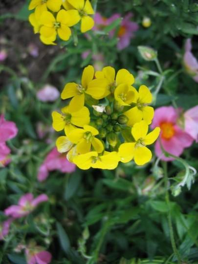 Erysimum Yellow Bird (Erysimum)