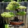 Japanese White Pine bonsai (Pinus parviflora (Japanese White Pine))