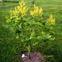 Rose Lantern Rain tree (Koelreuteria paniculata (Golden-rain tree))