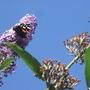 Butterfly & buddleia 2011 (buddleia alternifolia)