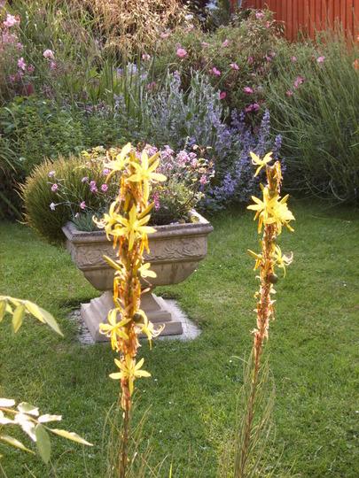Asphodeline lutea in the evening (Asphodeline lutea (King's Spear))