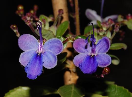 Clerodendrum ugandense  (Clerodendrum ugandense (Blue glory bower))