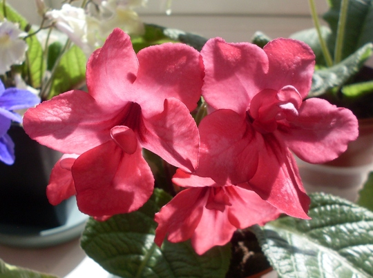Streptocarpus 'Orange Sherbet'
