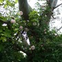 Roses_and_golden_hop_up_the_eucalyptus
