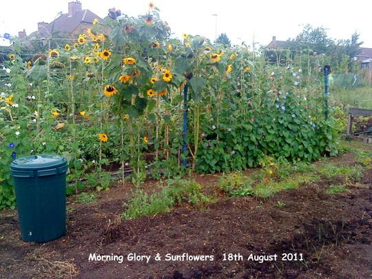 Allotment Morning Glory Sunflowers 18-08-2011