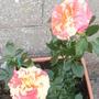 """""""Hanky Panky"""" Rose"""