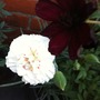 Chocolate Cosmos & White Carnations