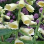 Perennial Foxglove (Digitalis grandiflora (Yellow foxglove))