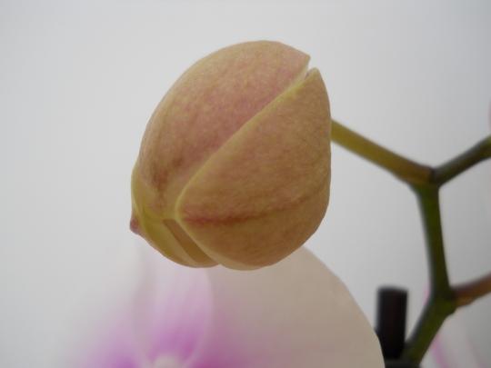Phalaenopsis bud