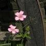 Pink geranium near cartwheel