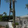 Carnegiea gigantea  - Saguaro Cactus (Carnegiea gigantea  - Saguaro Cactus)