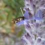 Hoverfly on Perovskia (perovskia)