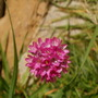 sea thrift bloom (Armeria maritima)